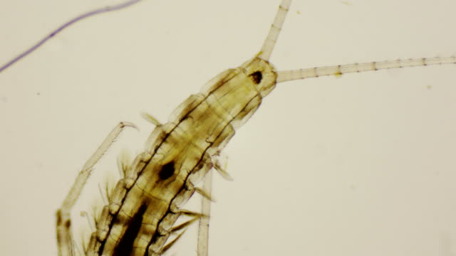 Mayfly nymph, dorsal view under the microscope in 4k video