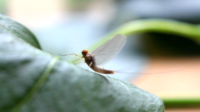 Mayfly on grass video