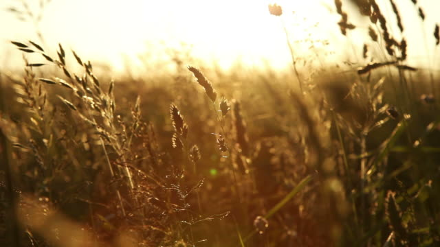 Meadow at sunset video