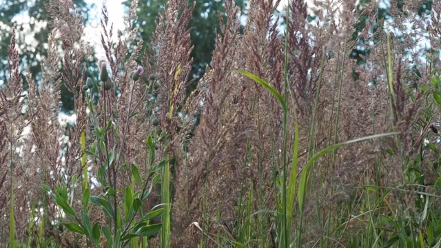 Meadow downy spikelets grow in summer on the field