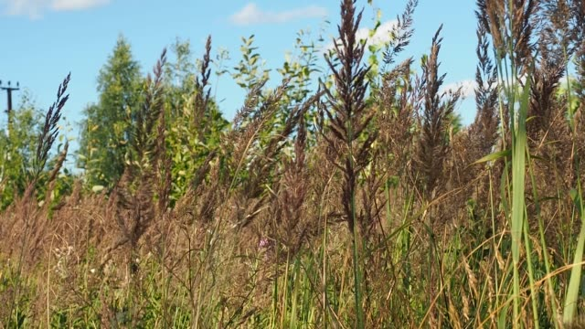 Meadow downy spikelets grow in summer on the field,