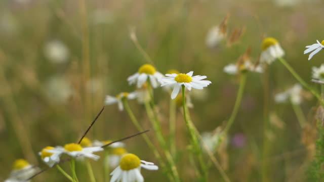vídeos de stock e filmes b-roll de meadow flowers on the breeze - flower white background
