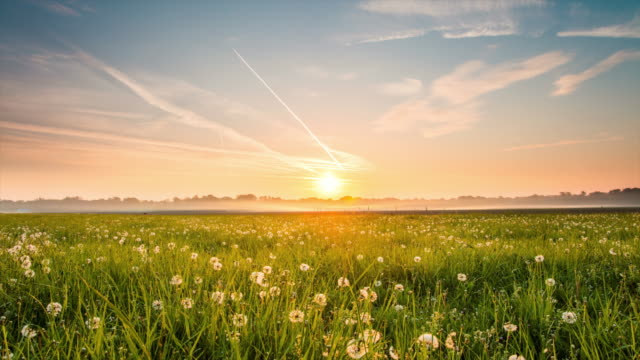 8K T/L Meadow full of dandelions at sunrise video