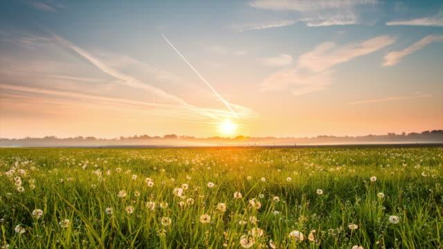 vídeos de stock e filmes b-roll de 8 k t/l prado cheio de dandelions em sunrise - prado