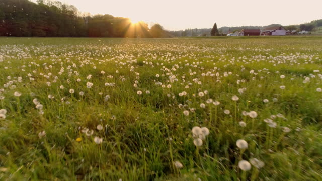 AERIAL SLO MO Meadow full of dandelions Drone slow motion shot of a meadow full of dandelions on the edge of a village at sunset. dandelion stock videos & royalty-free footage