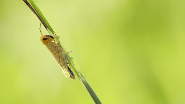 meadow grasshopper grashalm sitzt und isst grass. - grashüpfer stock-videos und b-roll-filmmaterial