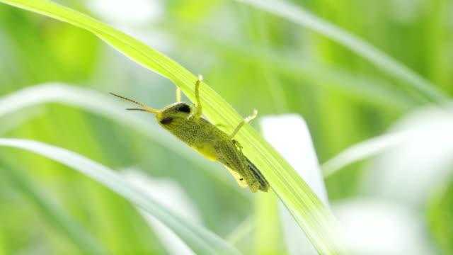 meadow grasshopper sitzt auf grashalm. - grashüpfer stock-videos und b-roll-filmmaterial