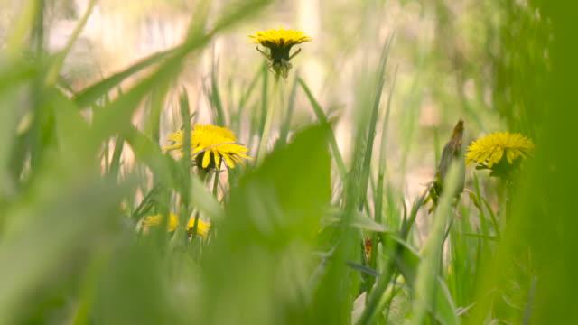 vidéos et rushes de meadow de dandelions - couleur saturée