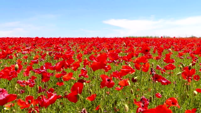 meadow of red poppies against blue sky in windy day video