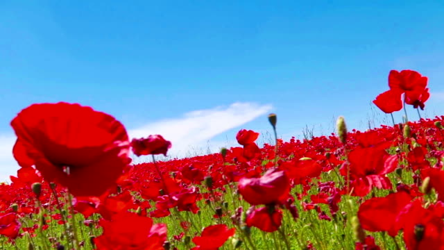 meadow of red poppies against blue sky with clouds in windy day, farmland, countryside, rural background video