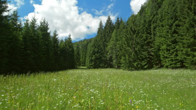 AERIAL Meadow surrounded by fir trees in sunshine