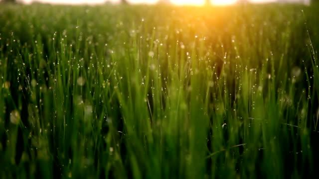 草地 - 熟していない点の映像素材/bロール