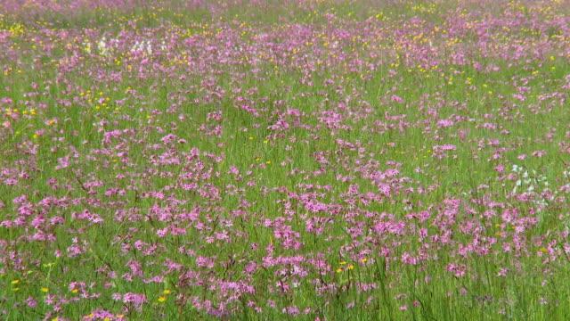 vídeos y material grabado en eventos de stock de ws meadow with blooming flowers / vrhnika, slovenia - flor silvestre