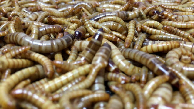 Mealworms video