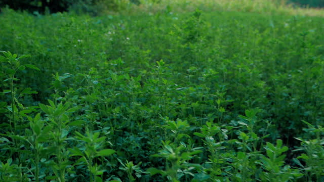 medicago sativa, alfalfa, lucerne in bloom - tilt up tilt down. alfalfa is the most cultivated forage legume in the world and has been used as an herbal medicine since ancient times - erba medica video stock e b–roll