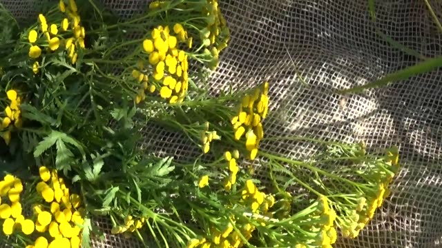 Medical herb Plant of Tansy Tanacetum vulgare drying on burlap video