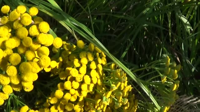 Medical herb Plant of Tansy Tanacetum vulgare in the basket video