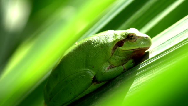 Mediterranean tree frog Mediterranean tree frog From Barcelona province amphibian stock videos & royalty-free footage