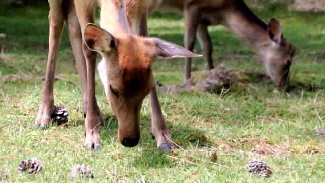 medium close-up of japanese deer eating - benekli geyik stok videoları ve detay görüntü çekimi
