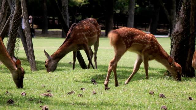 medium shot sika deer grazing - benekli geyik stok videoları ve detay görüntü çekimi