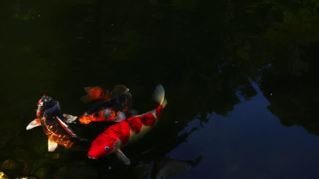 stockvideo's en b-roll-footage met 4k medium tracking shot van groep van grote gouden en fancy japanse koi karper vissen zwemmen in helder water in de vijver in de japanse tuin - eén dier