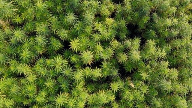 Medium wide aerial top view of a beautiful marijuana CBD hemp field