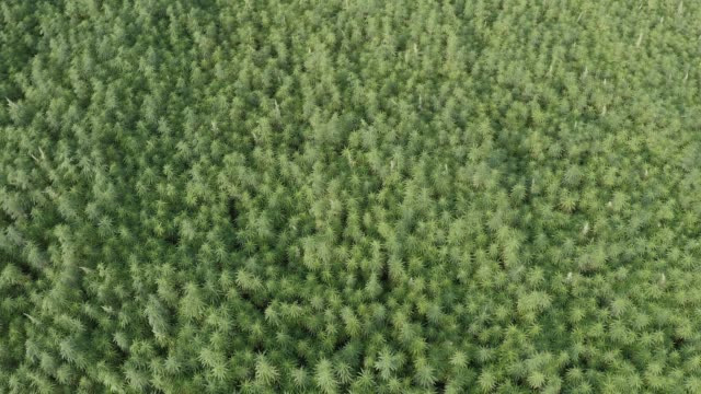Medium wide aerial view of a beautiful marijuana CBD hemp field