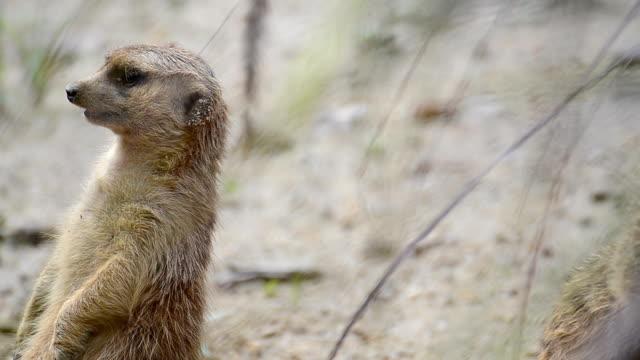 Meerkat animal in wildlife sanctuary video