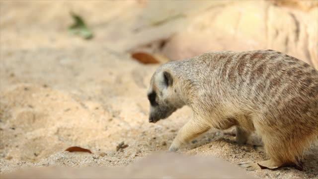 Meerkat animal. video