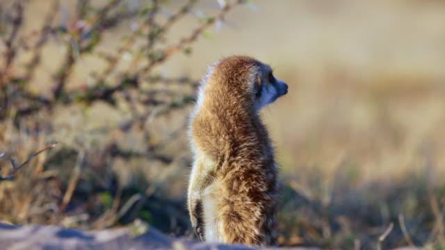 Meerkat checks his surroundings before coming out of his den in the Kalahari Desert. A meerkat looks around for predators at the Kalahari Desert in Botswana, Africa makgadikgadi pans national park stock videos & royalty-free footage