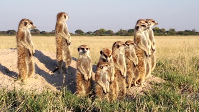 Meerkat family sunning themselves ,Botswana Meerkat family sunning themselves in the early morning sunshine,Botswana group of animals stock videos & royalty-free footage