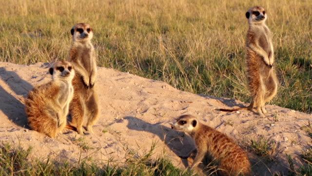 スリカータ家族の日光浴も、ボツワナ - 自然旅行点の映像素材/bロール