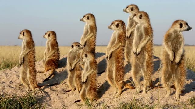 Meerkat family sunning themselves ,Botswana video