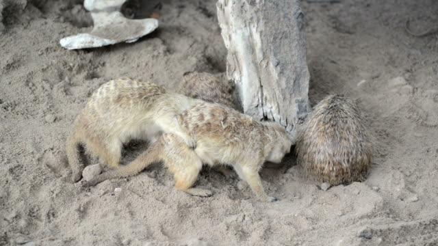 suricata (suricate) familie, die kleine tiere aus afrika - schnauze stock-videos und b-roll-filmmaterial