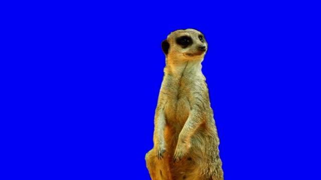 vídeos y material grabado en eventos de stock de suricata en pantalla azul - animal