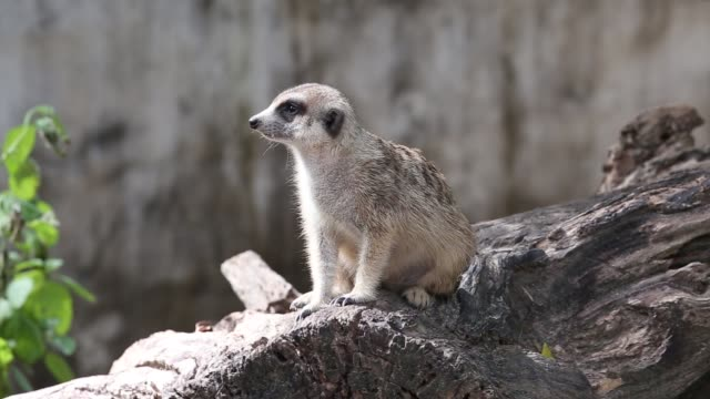 Meerkat or suricate is a small carnivoran belonging to the mongoose family video