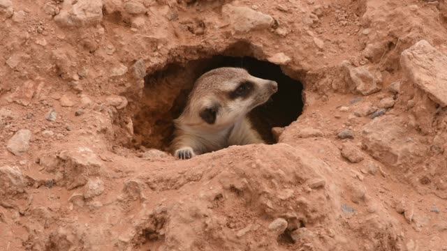 vídeos de stock e filmes b-roll de a meerkat peeks outside of a hole in the desert sand looking around protecting himself and hiding from the african sun (suricata suricatta). - perigo
