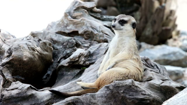 Meerkat relax guarding on a wood video