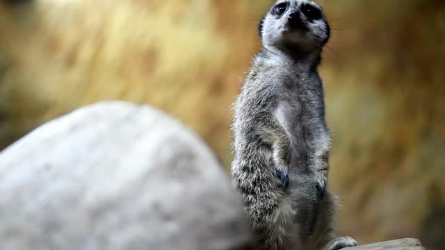 vídeos y material grabado en eventos de stock de suricata centinela mantiene alerta de los peligros - vibrisas