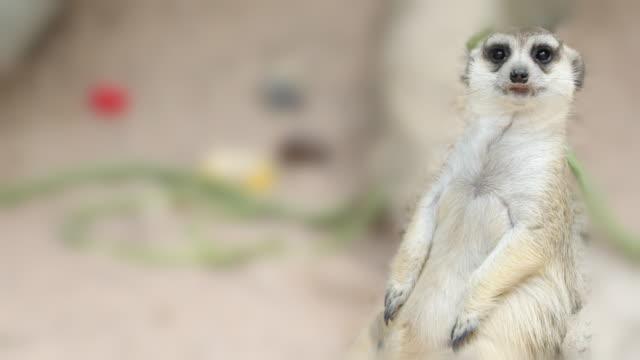 Meerkat Standing, 4K(UHD) video