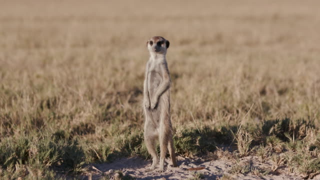 Meerkat standing up on sentry duty and looking into the distance video