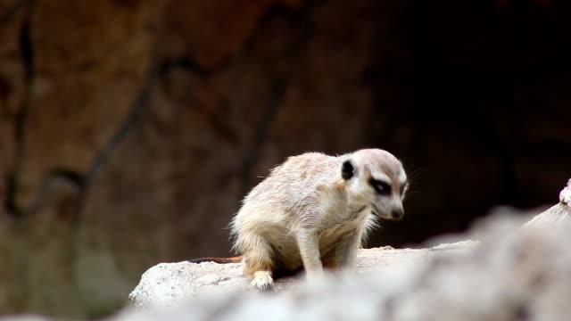 Meerkat (Suricata suricatta) video