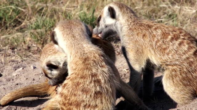Meerkats grooming each other, Botswana video