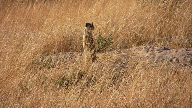 meerkats - savanne stock-videos und b-roll-filmmaterial