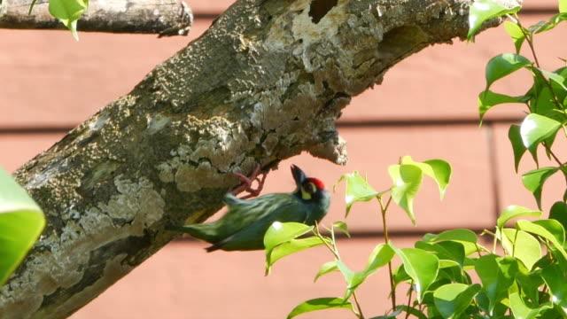 Megalaimidae bird building a nest on tree video