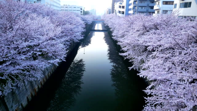 meguro river and cherry - cherry blossom stock videos and b-roll footage
