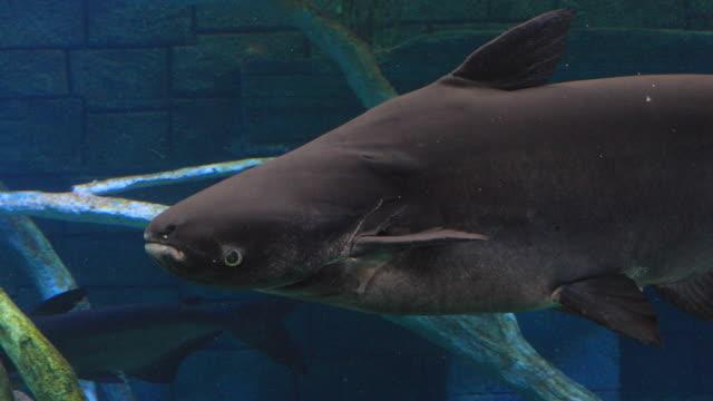 mekong giant catfish in freshwater. - siluriformes video stock e b–roll