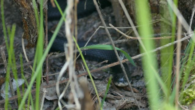Melanistic garter snake's head facing camera while it is putting its tongue out