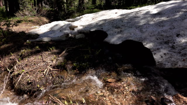 Melting snow bank creek flows past wildflowers Medicine Bow Colorado Rocky Mountains video