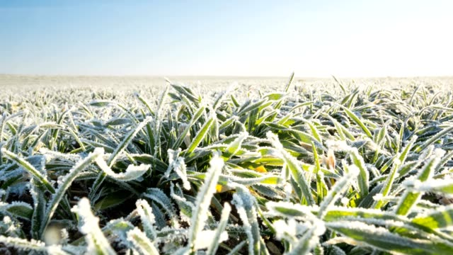 Melting snow on the winter cereals. video